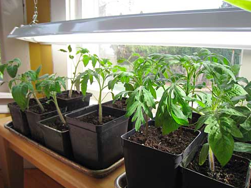 Planting And Growing Your Own Backyard Tomatoes 187 Blog